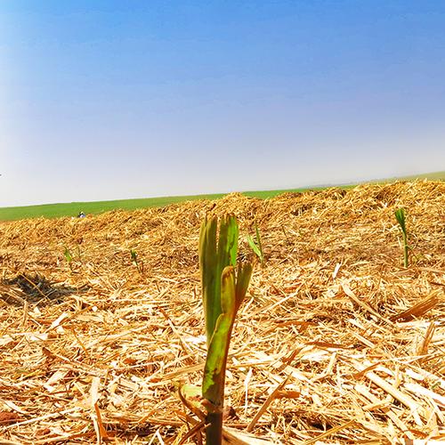 Sugarcane Bioelectricity