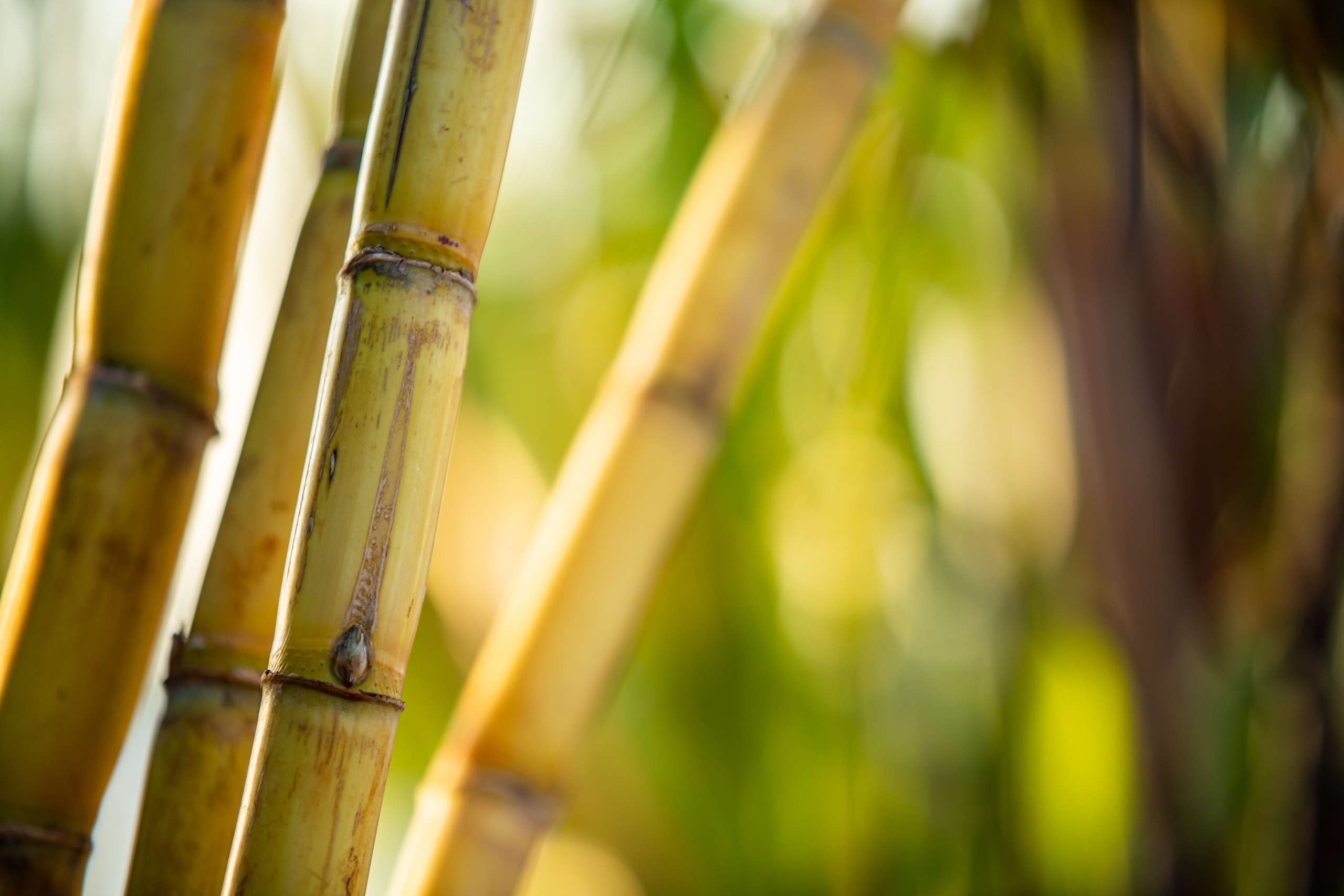 Sugarcane harvest for the second half of August 2020