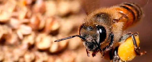 COEXISTENCE OF BEES AND SUGARCANE
